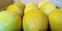 FRESH ALPHONSO MANGO FOR SELL