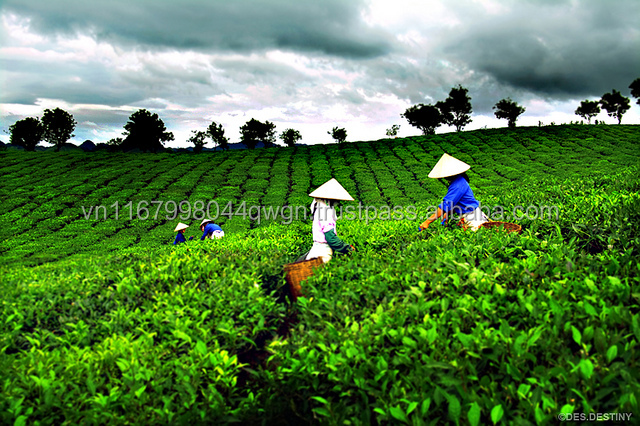 The Famous Viet Nam Organic Green Tea Price Per Kg