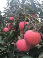 2016 fresh apple fruit
