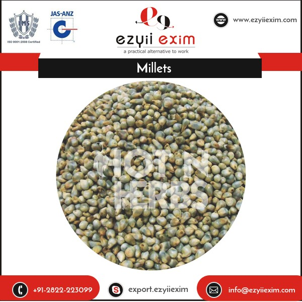Standard Quality Newly Cropped Natural Yellow Millet for Sale