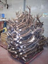 red deer antlers for sale