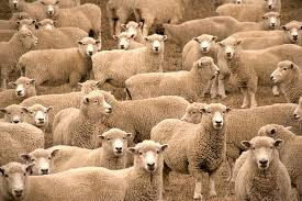 Live Awassi Sheeps and Lambs