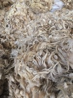 Carpet grade 100%north Sardinian greasy white raw sheep wool
