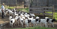 Cheap Alive Black and White Dorper Sheep