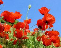 Poppy Red Flowers Seeds (Available 5 kg bags)