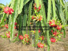 FRESH DRAGON FRUIT WITH HIGH QUALITY AND BEST PRICE