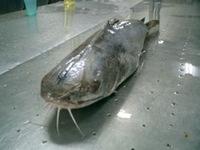 Frozen catfish whole round frozen catfish fillet For Sale