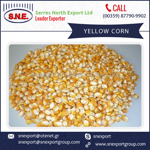 2016 New Arrival Fresh Yellow Corn Supplier/Manufacturer/Distributor