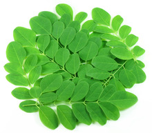 Moringa Leaf extract best medical use