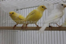 Live Canary Birds, Yorkshire, Lancashire,Finches, Lovebirds
