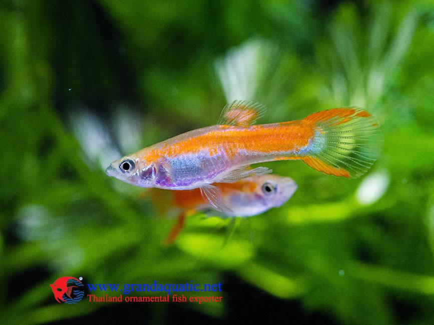 Aquarium fish breeder buy aquarium fish breeder aquarium for Order live fish