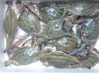 Frozen Blue Swimming Crab for sale/Frozen Blue Swimming Crab