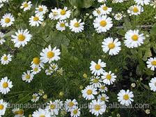 Chamomile Oil Wholesale Reasonable Price