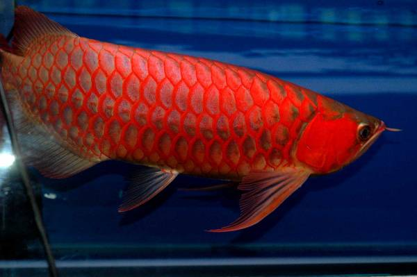 """A"" Grade Arowana fishes available now"