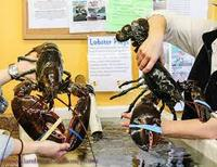 QUALITY FRESH LOBSTERS FOR SALE