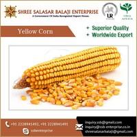 Non GMO Animal Feed Yellow Corn at Affordable Bulk Price