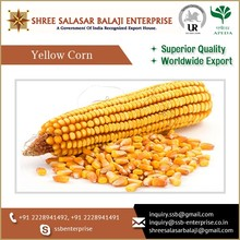 Non GMO Animal Feed Yellow Corn at Affordable Bulk Price