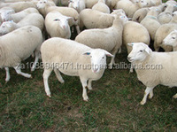 Healthy Fat Tailed Sheep for sale