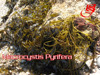 /product-detail/suppliers-seaweed-macrocystis-integrifolia-pyrifera-dried-50034187132.html