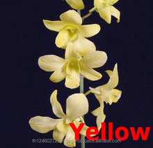 Fresh Cut Orchid / Yellow Dendrobium