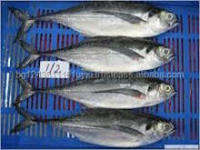 Frozen Horse Mackerel, Pacific Mackerel, Tuna, Trout, Salmon
