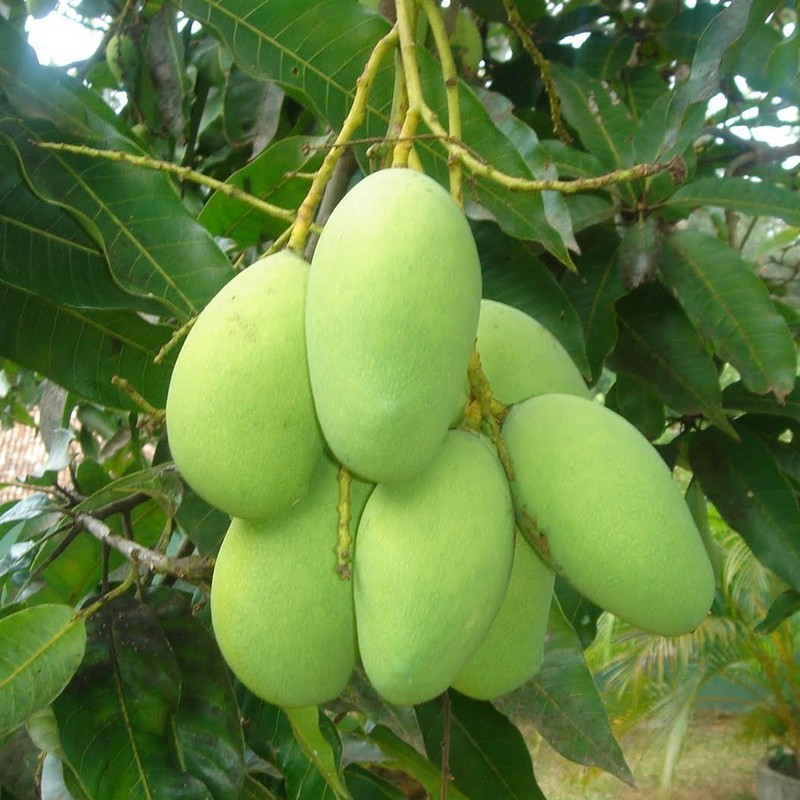 Fresh green mango price in viet nam, 500-1200 usd/ton