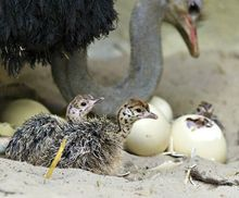 Ostrich Chicks, Eggs and Feathers For sale From South Africa....