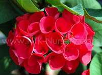 "Live Ornamental Plants and Euphorbia milii plant ""Immortal Rose"""