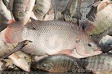 Sea Food Frozen Black Tilapia Fish From Wholesale Product