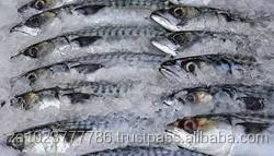 Whole sierra / Snoek (Barracouta) Snoek Seafrozen H&G&T Frozen Fish, Salted Fish Snoek Fish Snake Fish FOR SALE