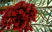 egyptian dates and Chinese dates/ Sweet and pure red date