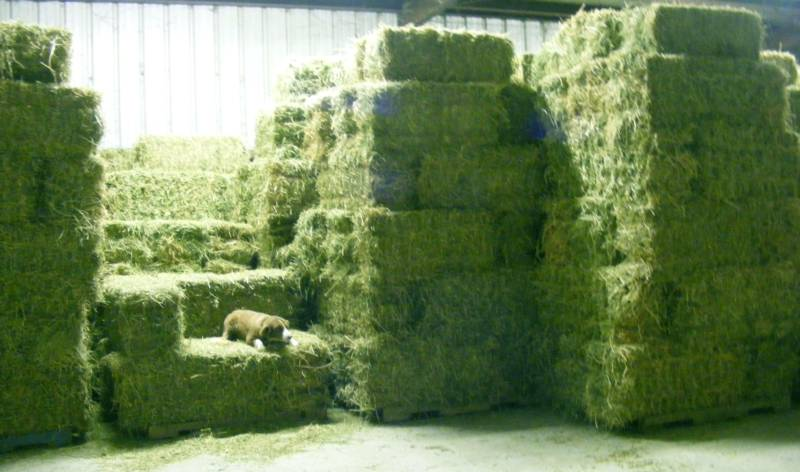 THAILAND Top Quality Alfafa Hay for Animal Feeding Stuff Alfalfa / Alfalfa Hay / Alfalfa Hay FOR SALE