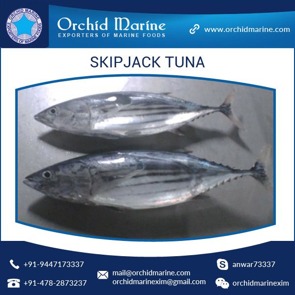 Frozen Skipjack Tuna Whole Round Frozen Tuna Fish Price