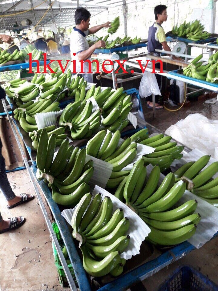 Fresh banana/ cavendish banana/ green banana