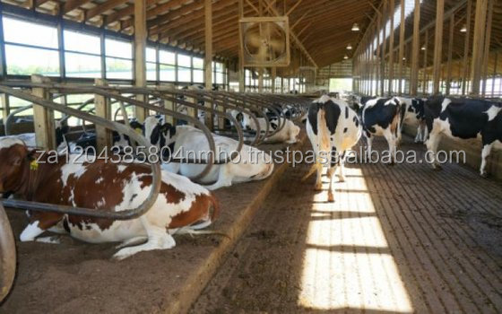 Healthy Live Dairy Cows and Pregnant Holstein Heifers Cow/Boer Goats, Live Sheep