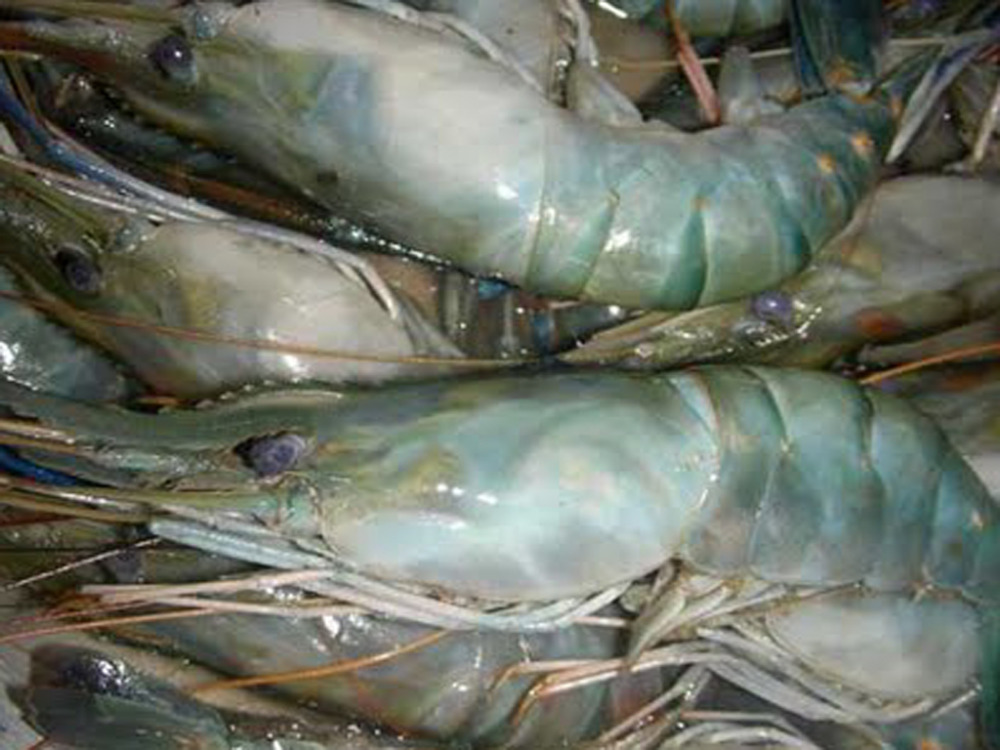 Black Tiger Shrimp / Tiger Prawn/ Vannamei Best United States