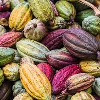Sell Cacao Bean Cocoa Organic Certified