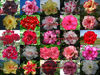 "NEW Adenium Obesum ""identified by color""1,060 Seeds 25Type"