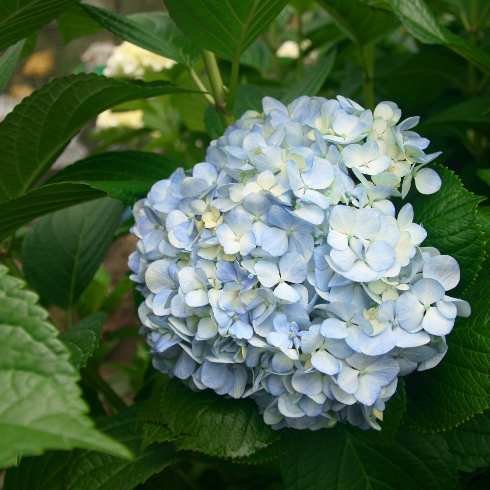 Hydrangeas, Shocking Blue Hydrangeas, Hydrangeas Apple Green, White Hydrangeas, Blue Hydrangeas