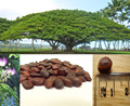 Indian Rain Tree ornamental Seeds Samanea saman Rajasthan Asia