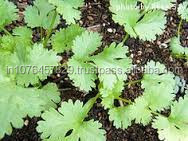 CORIANDER SEEDS FOR PLANTING IN PAKISTAN