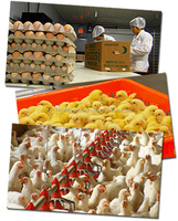 Broiler Fertile eggs/Ross308 Chicken Hatching eggs for sale in bulk
