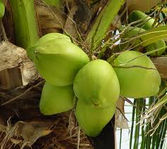 tender coconut fresh young