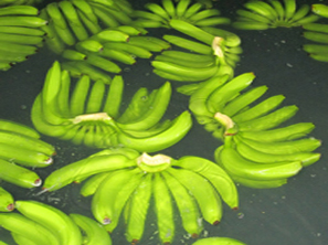 GREEN PREMIUM QUALITY FRESH CAVENDISH BANANAS