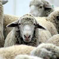 Healthy live Livestock sheep for sale