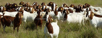 Boer Goats, Live Sheep, Cattle, Lambs Ready for Export