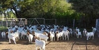 Live sheep ,lamb,goat, Donkey & cattle