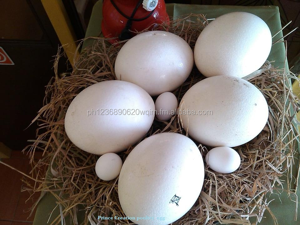 Fresh and fertile Ostich eggs for sale