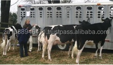 Grade A Live Dairy Cows and Pregnant Holstein Heifers or sale