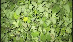 Best Quality Moringa Dried Leaves Bulk Export